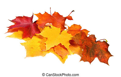Many maple fall colored leaves
