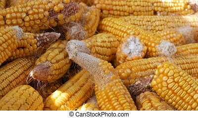 Many mature yellow corn heads in barn. Corn After Harvest of...