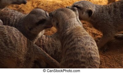 Many meerkat playing between them to bite and crazed - Many...