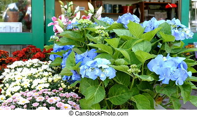 Many multi-colored fresh vibrant flowers in pots are...