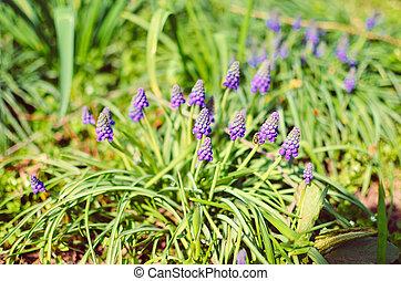 Many muscari flowers in green field