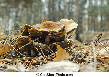 Many mushrooms in the autumn forest, surrounded by dry leaves