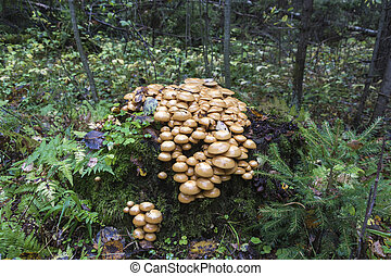 Many mushrooms on a big stump in the autumn forest on an overcast day.