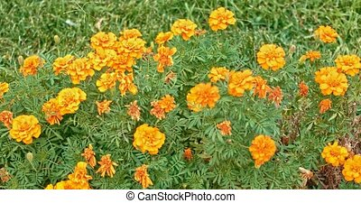 Orange petunia flowers in garden