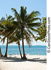 Many Palm trees in Key West, Florid