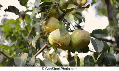 hand picking few pear fruits from tree branch by summer evening
