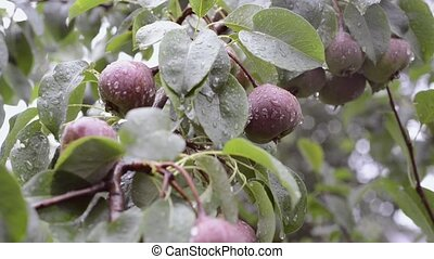 many pears ripening - many pear fruits ripening on tree...