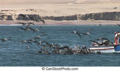 Many Pelicans and Fishing Boat  - Many Pelican Birds