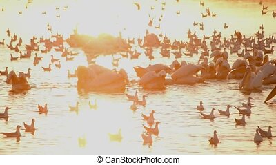 Many pelicans and sea gulls forage on water