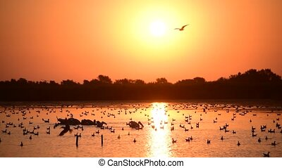 Many pelicans and seagulls on water during sunrise