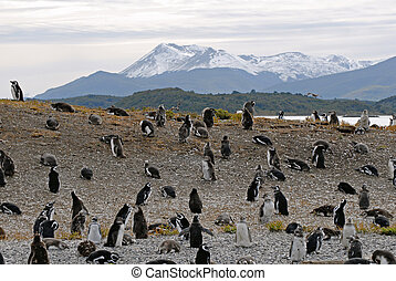 Many penguins near Ushuaia. Island near Ushuaia. Tierra Del ...