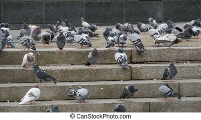 Many Pigeons Eat Food on the Street. Slow Motion in 96 fps....