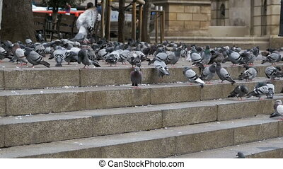 Many Pigeons Eat Food on the Street. Slow Motion
