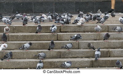Many Pigeons Eat Food on the Street. Flock of pigeons eating...