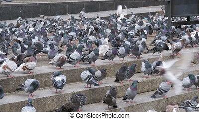Many Pigeons Eat Food on the Street