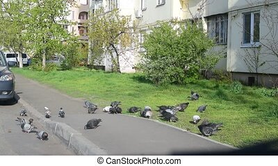 Many pigeons fed in a city - Many pigeons being fed in a...