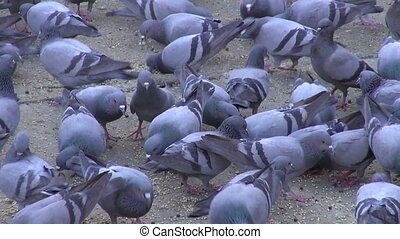 many pigeons in Jaipur city square, Rajasthan, India