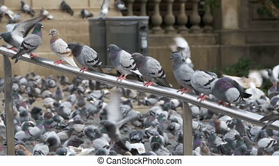 Many pigeons sit on a railing in a city street. Slow Motion...
