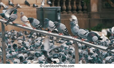 Many pigeons sit on a railing in a city street. Slow Motion