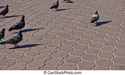 Many pigeons walking on park pavement in slomo - Many ...