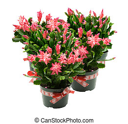 many pots of christmas cactus