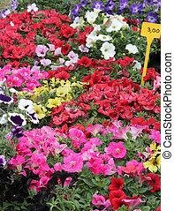 many pots of petunias flowers