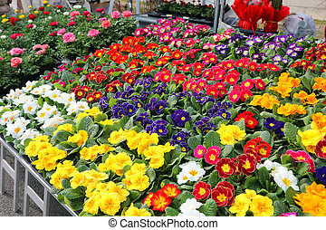 primroses flowers blossomed in spring for sale in the flower mar