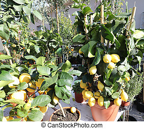 many pots with lemons tree for sale