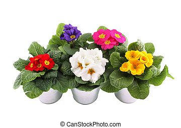 Close-up many Primrose potted plants. Isolated