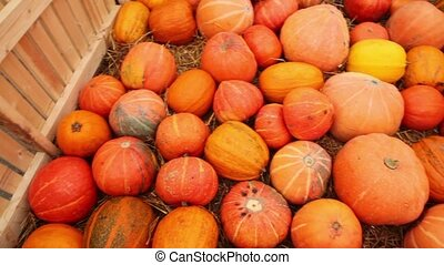 Many pumpkin scattered on grass in area enclosed by fence -...