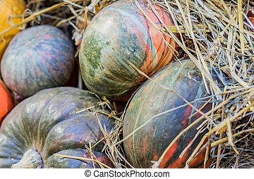 many pumpkins in a hay, autumn background