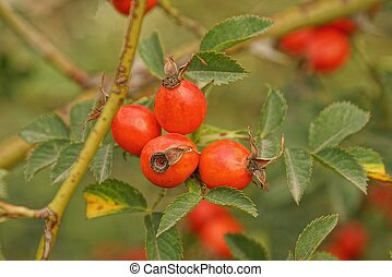 many red briarberries on a branch with green leaves