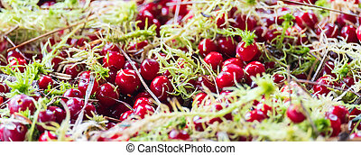 many ripe red cranberries and green moss