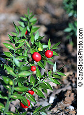 Many Red Holly berries and spiny leaves