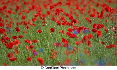 many red poppy flowers in field