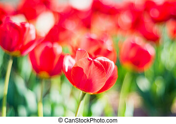 Many red tulips flowers blooming in a garden