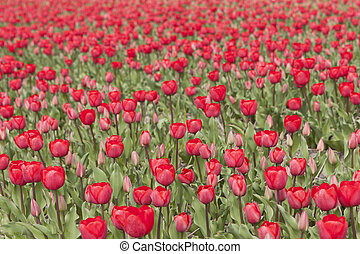 many red tulips in flower field in the netherlands