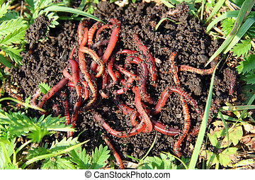 Red worms in compost bait for fishing for Red worms for fishing
