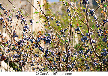 Many ripe blue plums on the branches of a tree in the garden.