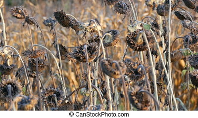 Many ripened dry sunflowers, autumn harvest. Heads of dried...