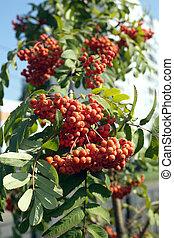 Many rowan-berries fruits hangs