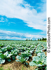 Many rows of green cabbage