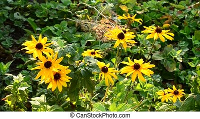 Many rudbeckia flowers in a garden