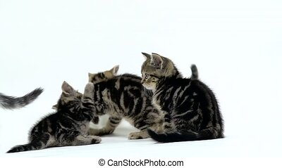 Many scottish fold and straight kittens are crawling in the sides. White background. Slow motion