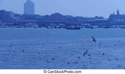 Many seagull flying in sea, reef, Seaside dams of Qing Dao city, Yachts ship & Vessels docked at pier port..