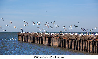 many seagulls flying and sitting on the water and on the rocks of the Black Sea, Poti, Georgia