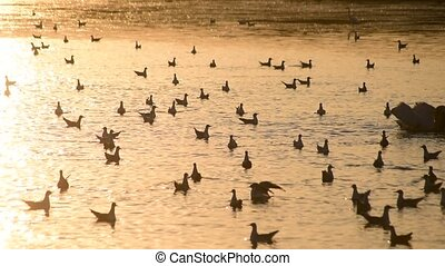 Many seagulls on water at dawn. One sea gull takes flight