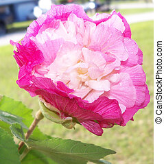 many shade of pink on this changeable hibiscus flower - ...