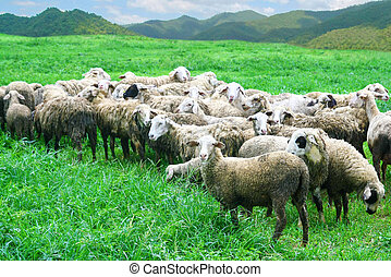 sheep in grass field