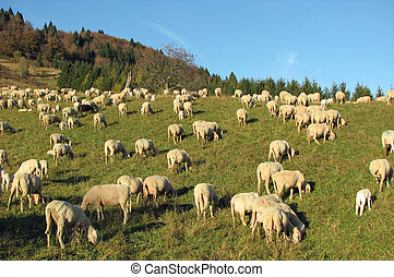 many sheep in the flock of sheep on a meadow